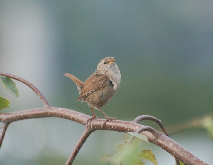 Clarence the wren is not happy